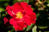 bright red rose