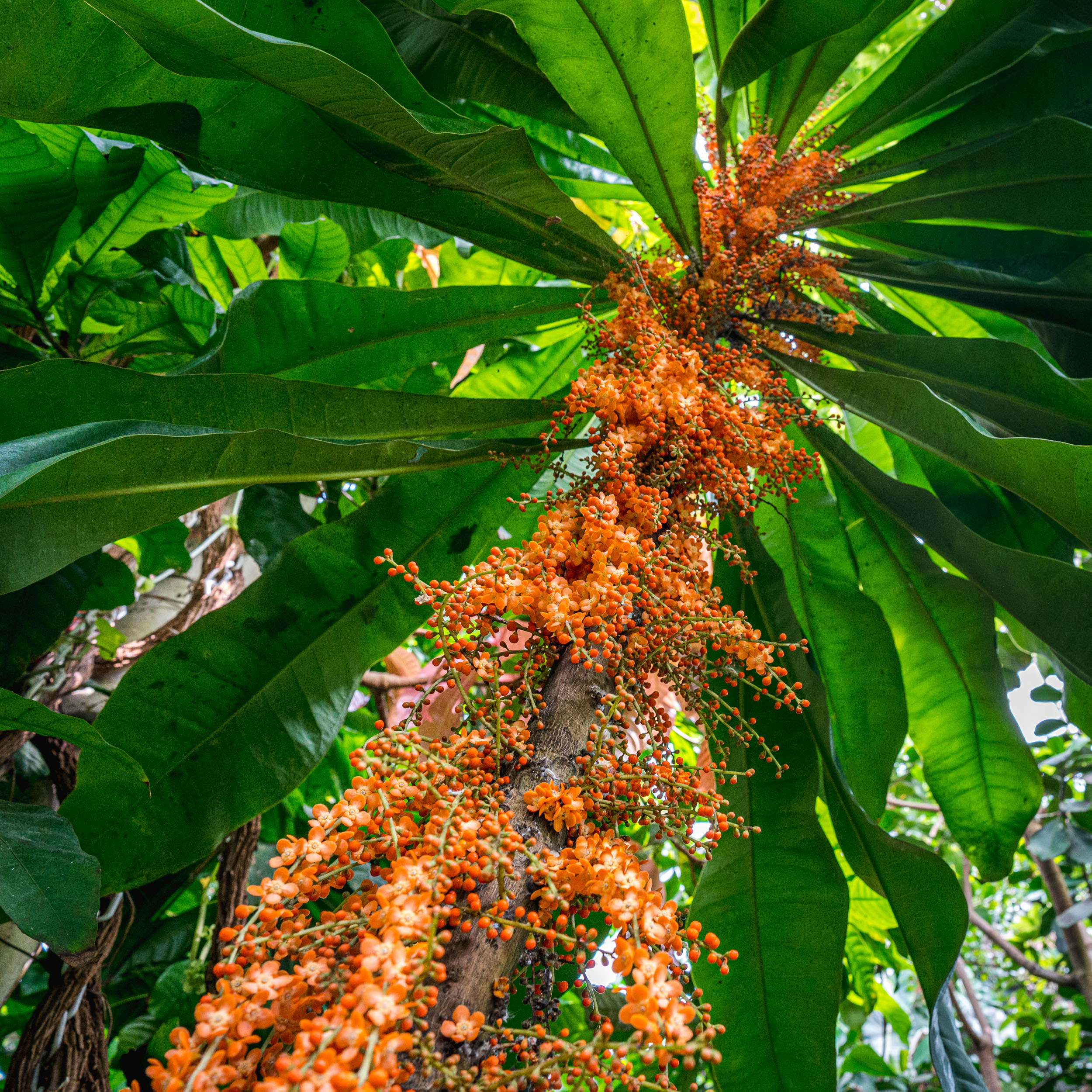 Photo of orange Clavija flowers in bloom