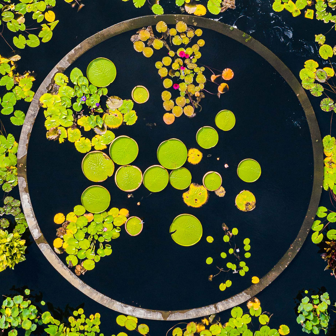 Photo of Victoria amazonica water lilies in the Conservatory Courtyard Pools