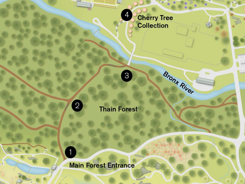 A map of the Thain Family Forest plotting points for the Forest Bathing activity, starting at the entrance to the Thain Forest, followed by the Orientation Point, Hester Bridge, and Cherry Collection.