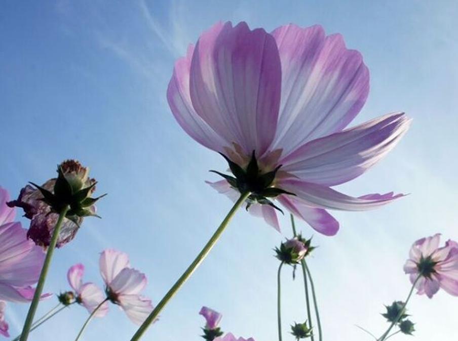 Photo of cosmo flowers