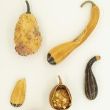 dried yellow and green squashes of differeing sizes