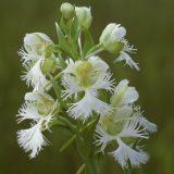 Photo of Platanthera praeclara by Robert Naczi
