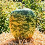 Green apple shaped gourd