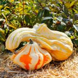 a small orange and white gourd with a larger yellow and white striped gourd with a long neck leaning on it