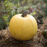 yellow pumpkin sitting on a haybale