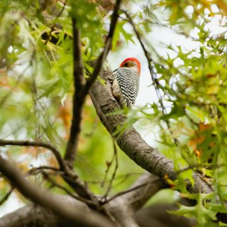 Photo of a red-bellied woodpecker