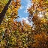 A view of a lightly cloudy blue sky seen from beneath a cluster of trees in fall.