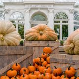 three giant orange and white giant pumpkins on wooden crates with a domed glasshouse in the background