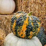 orange pumpkin withdark green warts and speckles