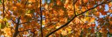 An outstretched tree branch coated in golden fall leaves