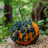 small orange pumpkin with black warts
