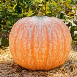 orange pink pumpkin with irregular white polka-dots