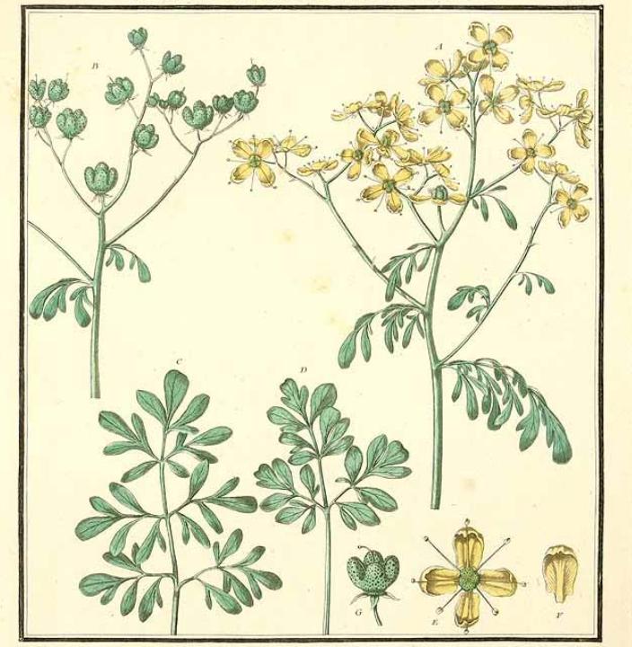 Illustration of Ruta graveolens L.