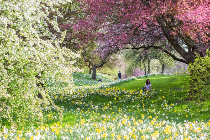 Photo of Daffodil Hill in bloom