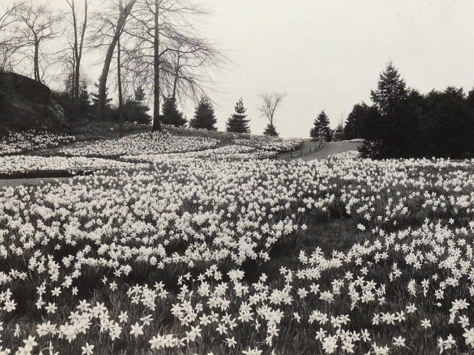 Photo of Daffodil Hill blooming in 1933