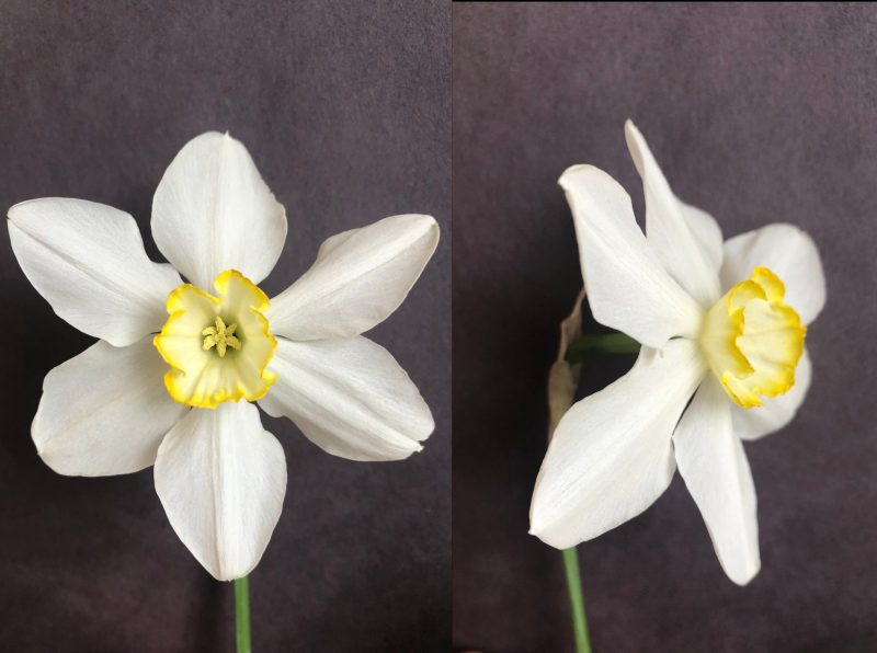 Photo of an unidentified daffodil