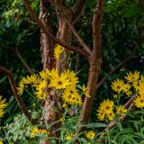 Bright yellow flowers on thing green stems in front of brown thin trees with green bushes in the background