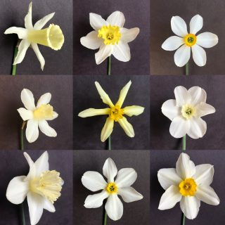 Photo collage of unknown daffodils