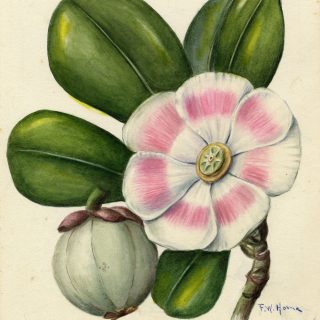 Illustration of Clusia rosea