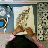 Photo of an herbarium staffer mounting a specimen