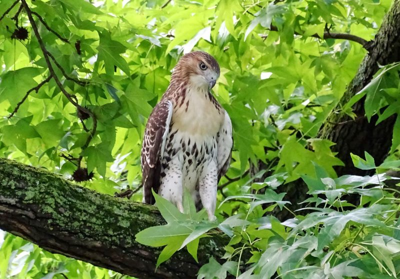 Photo of a red-tailed hawk in a tree