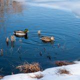 ducks in the native plant garden