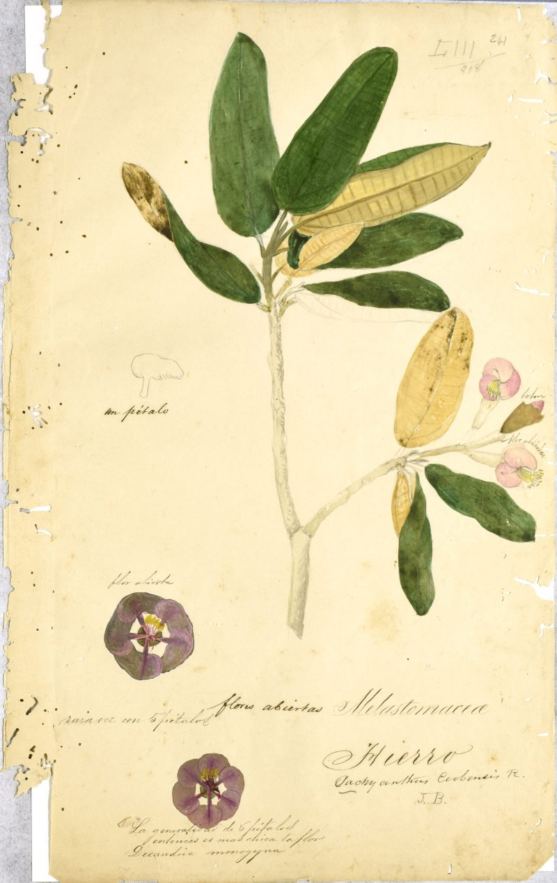 A botanical drawing of a plant from the Melastomataceae family, including depictions of its pink flowers and green leaves with yellow undersides.