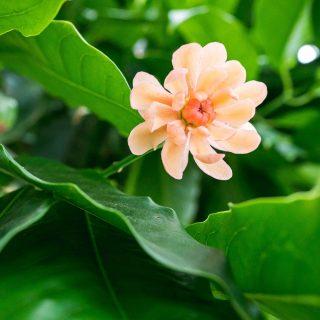 Photo of a Idiospermum australiense flower