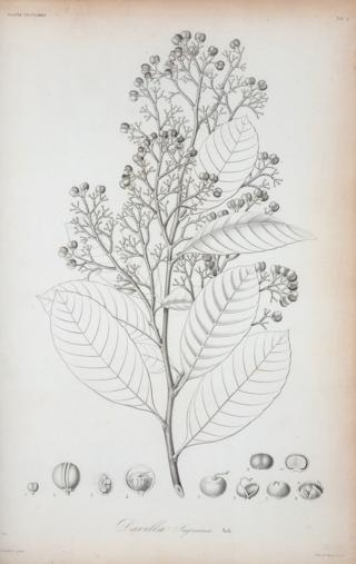 Photo of a botanical illustration by Ramon de la Sagre