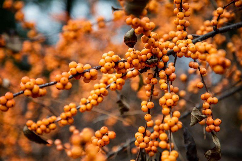 Photo of Ilex verticillata 'Winter Gold'