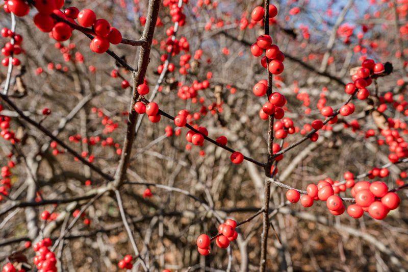 Photo of Ilex verticillata with red berries