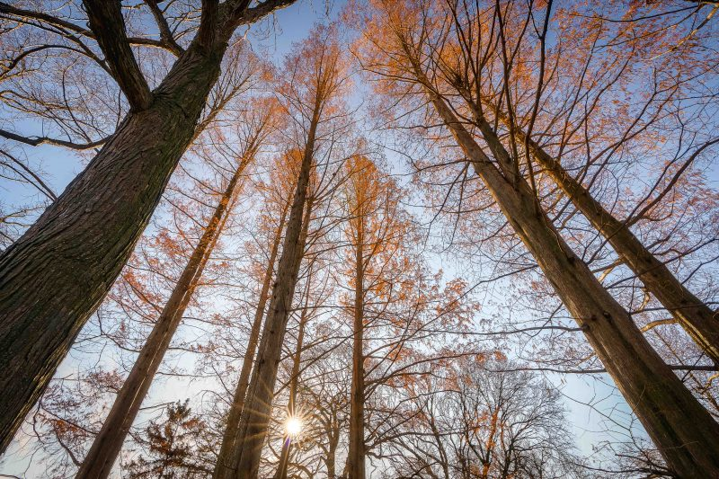 A photo of towering Metasequoias at NYBG