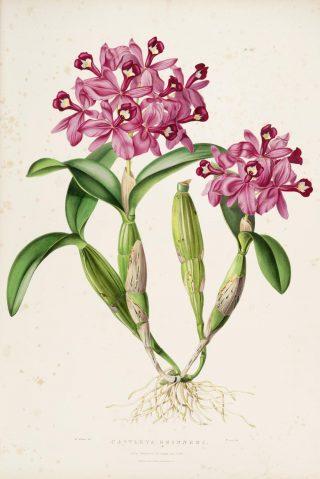 Illustration of clustered pink orchids