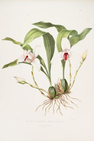 Illustration of a white and red orchid
