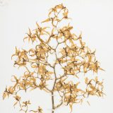 multiple small dried yellow orchids