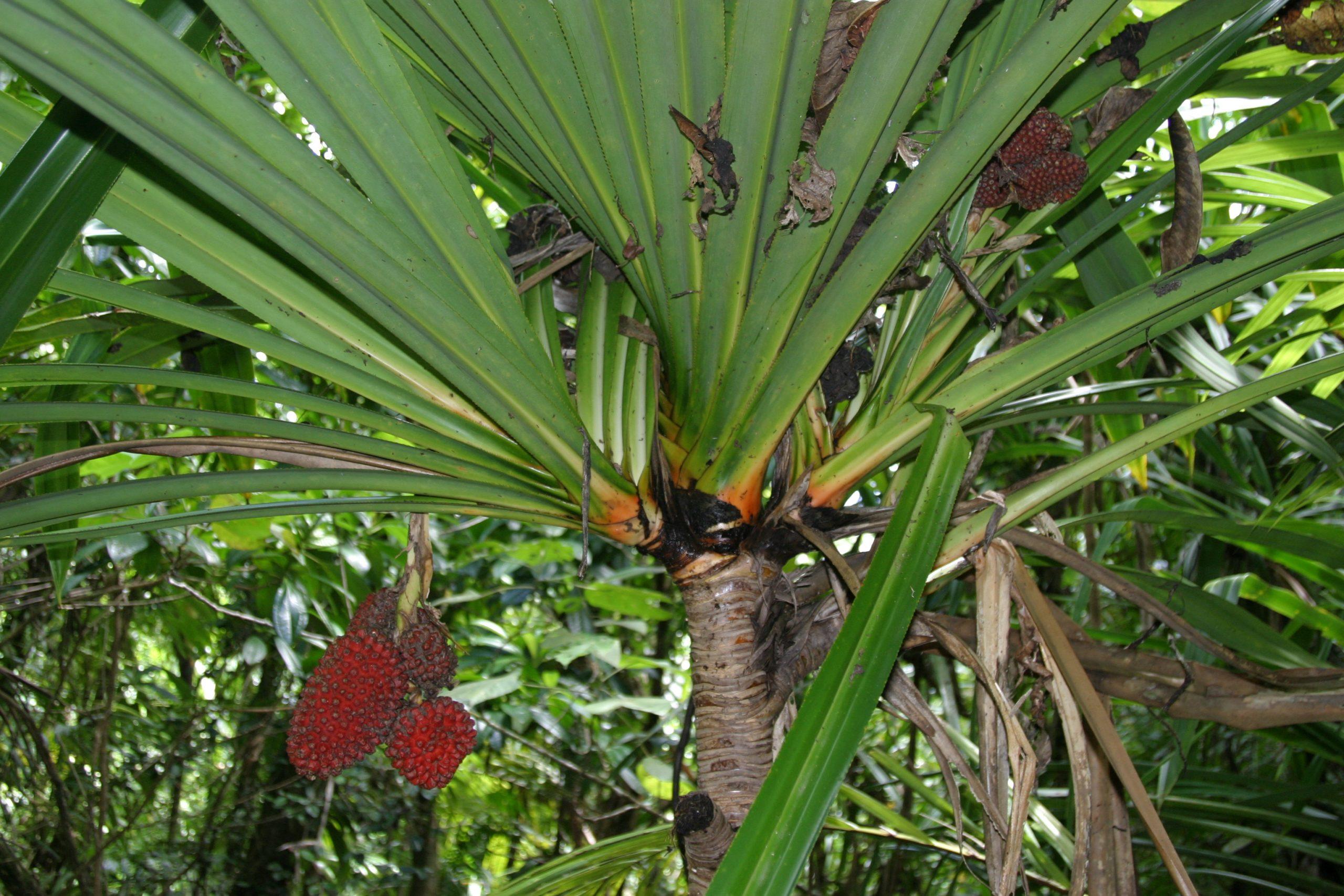 Photo of Pandanus macrojeanneretia