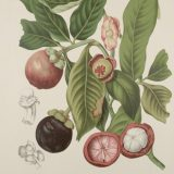 Illustration of black and red fruits with green leaves and showing the inside of a red fruit. There are black and white drawings in the corner of the illustration of the plant.
