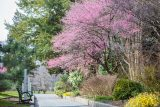 Pathway lined with pink flowering cherry trees and yellow and greens shrubs