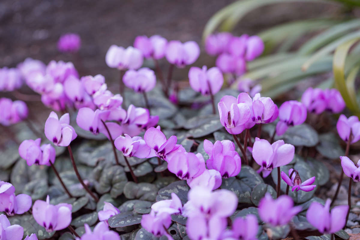 Photo of many small, purple flowers resembling hearts