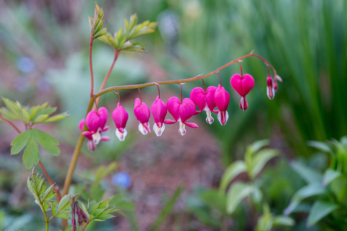 Photo of pink flowers in heart shapes, Laprocapnos spectabilis