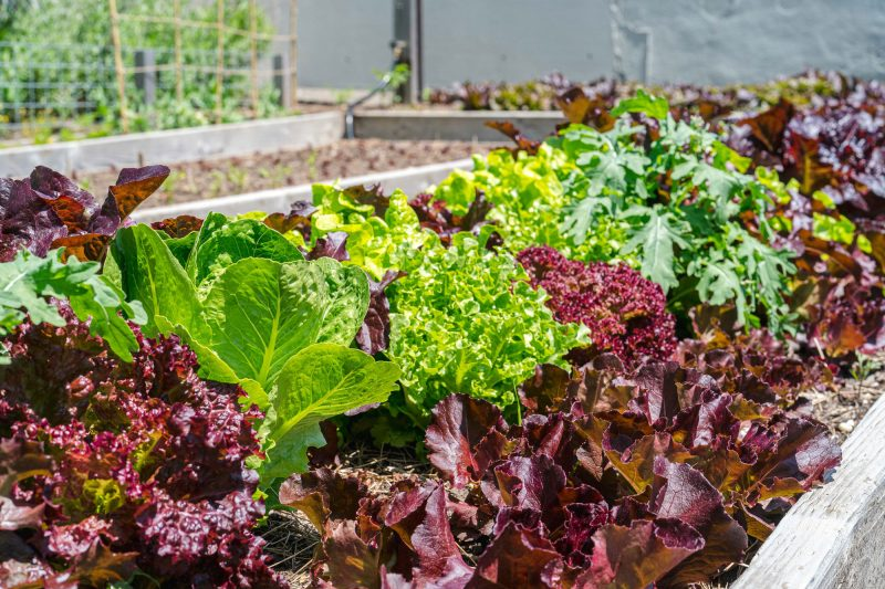 Photo of fresh greens growing in the Edible Academy
