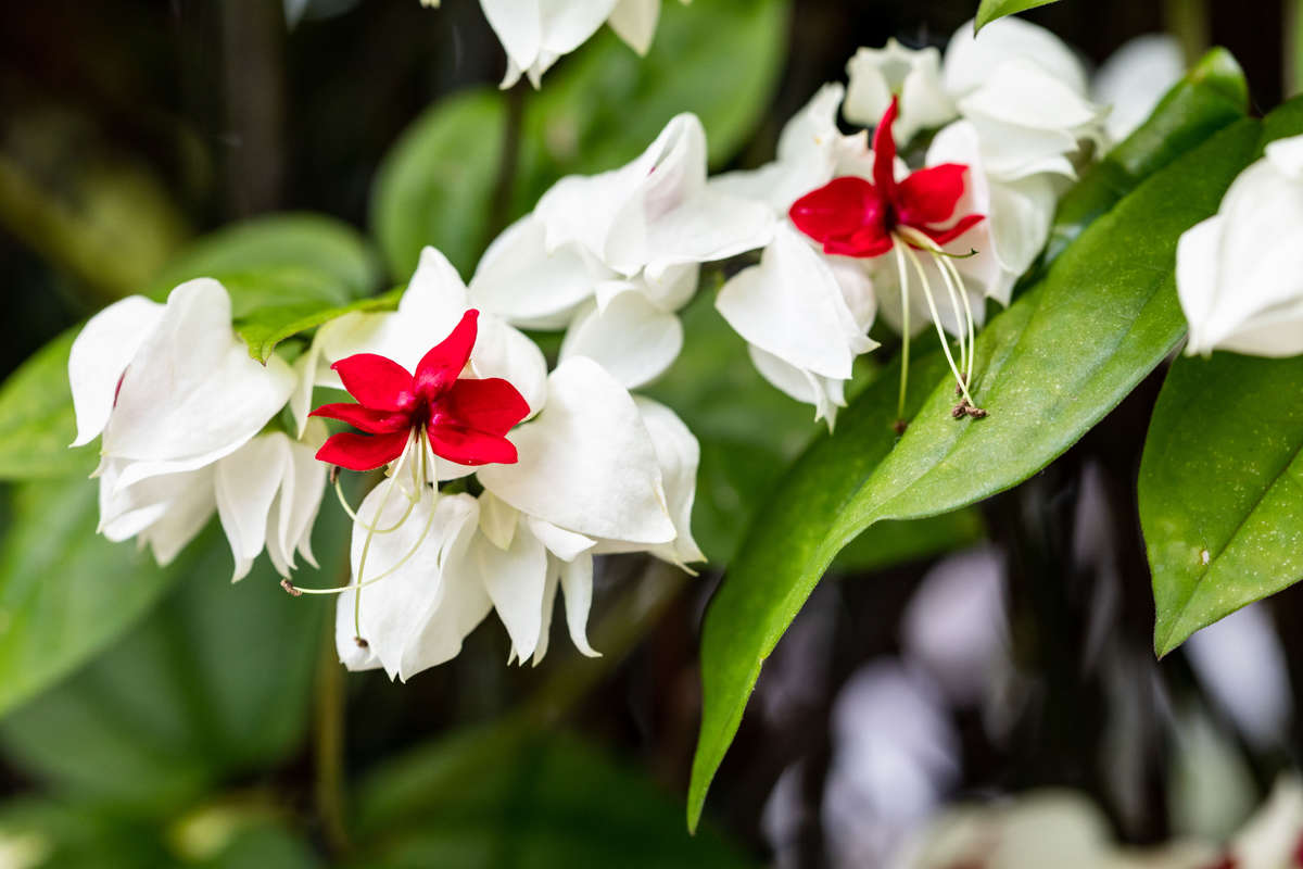 Photo of red and white flowers on green foliage, Clerodendrum thomsoniae