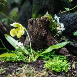Paphiopedilum orchid with mini Phalaenopsis orchids