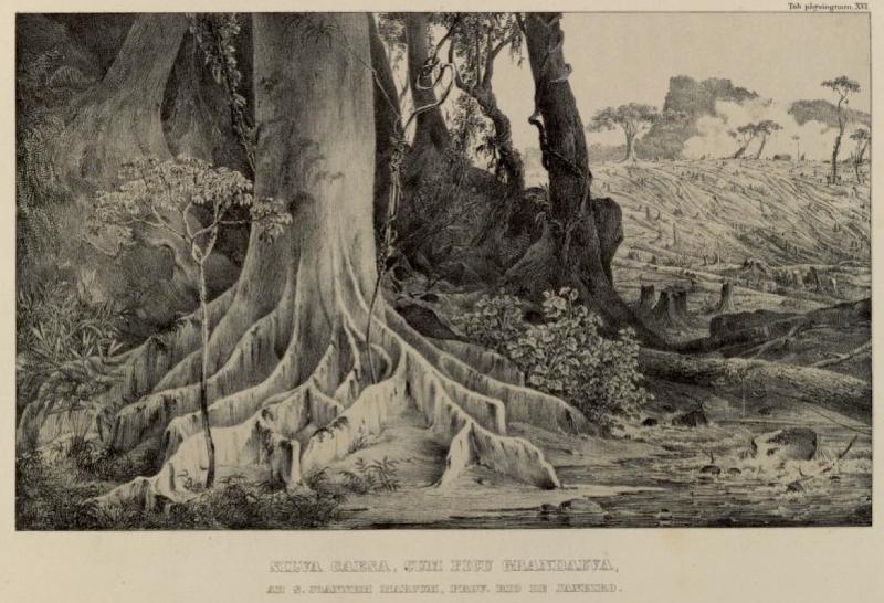 Illustration from Flora Illustrata