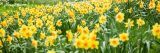 Photo of many blooming yellow daffodils