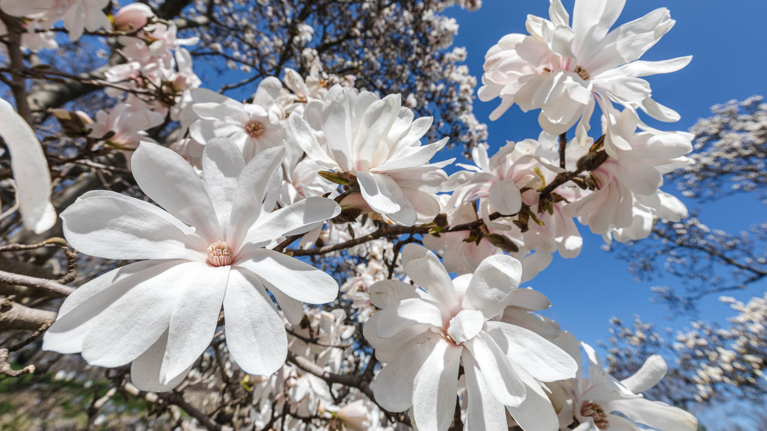 Newly bloomed paper-thin white magnolia flowers against a blue sky