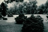black and white photo of montgomery conifer collection