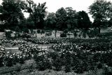 black and white image of rose garden looking into lilac collection