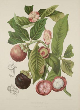 Illustration of mangosteen
